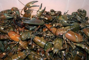 Local Crayfish Delicacy