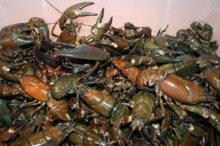 Crayfish Catch